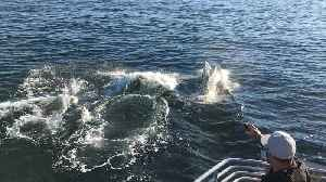Orca pod surfaces from right underneath sightseeing boat [Video]