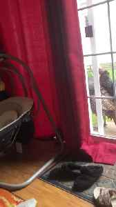 Turkeys Tapping at the Door [Video]