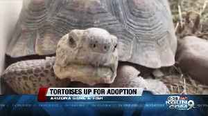 Tortoises who've survived cars hitting them up for adoption by AZGFD [Video]