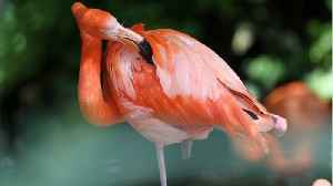Zoo Euthanizes Flamingo After Child Hits It With Rock [Video]