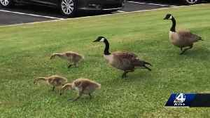 Family of Geese hit and killed, driver could face fines [Video]