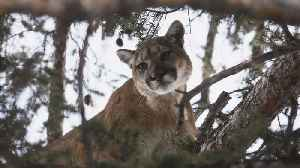 Firefighters rescue 80-pound cougar from tree [Video]