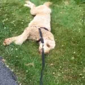 Dog Lies on Grass in Neighbor's Lawn Refusing to Move [Video]
