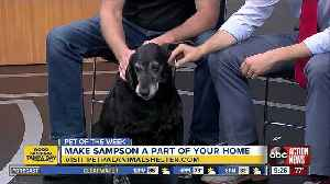 Pet of the week: Sampson is a Labrador Retriever mix who loves scratches behind his ears [Video]
