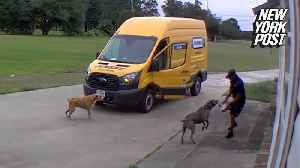Barking dogs turn FedEx driver into a scaredy cat [Video]