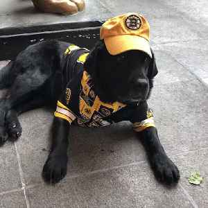 Boston hotel's resident pooch just may be cutest Bruins fan...ever [Video]
