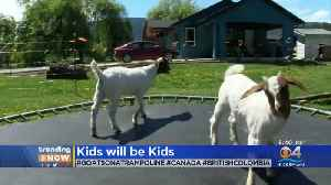 WEB EXTRA: Goats On A Trampoline [Video]