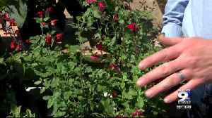 In The Garden: Adding color with salvia flowers [Video]