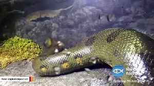 Aquarium Announces 'Virgin Birth' Of Baby Snakes In All-Female Anaconda Exhibit [Video]
