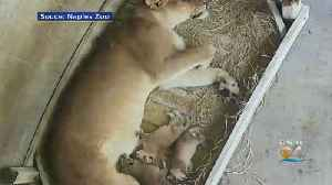 Florida Zoo Celebrates Birth Of Three African Lion Cubs [Video]