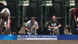 'Running Of The Bulldogs' Held At Canterbury Park [Video]