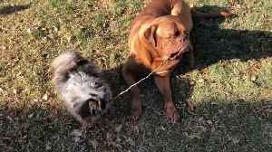 French Mastiff Refuses to Share a Twig With Pomeranian Buddy [Video]