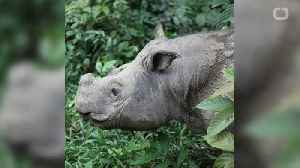 Last Male Sumatran Rhino Dies In Malaysia [Video]