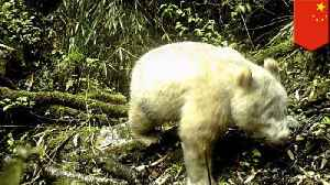 Albino giant panda spotted for the first time in the wild in China [Video]
