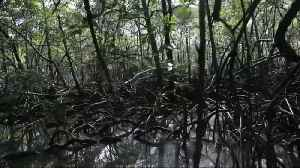 Climate change hurts Brazil's mangroves and marine life [Video]