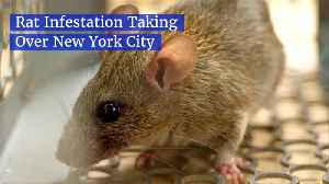 The Rats Are Taking Over NYC [Video]