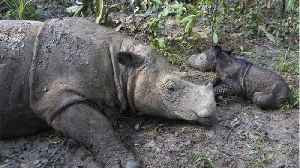 With Death Of Malaysia's Last Male Sumatran Rhino, Another Species Is Almost Extinct [Video]