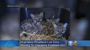 News video: Orphaned Mountain Lion Cubs Move To Cheyenne Mountain Zoo