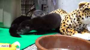 Two Orphaned River Otter Pups Find New Home [Video]
