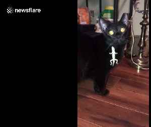 Lizard outsmarts confused cat in Florida home by grasping onto its fur [Video]