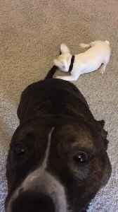 French Bulldog Puppy Plays with Pitbull's Tail [Video]