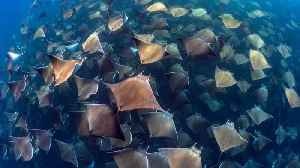 A Sea Of Rays – Manta Ray Migration Creates Mind-boggling Images [Video]