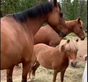 Four amazing horses load themselves into trailer [Video]