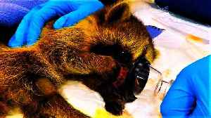 Rescued raccoon recovering from surgery captures veterinary staff's hearts [Video]