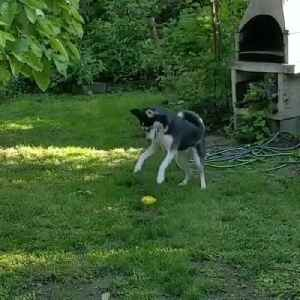 Husky Stomps on Squeaky Ball Toy [Video]