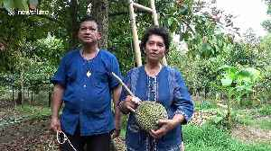 Thai farm where durian fruits sell for up to £25,000 each celebrates this year's harvest [Video]