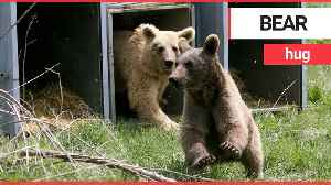Heartwarming moment brown bear and two cubs released into wild after a decade in captivity [Video]