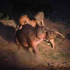 Wounded Hippo Fights Off FIVE Lions | SNAPPED IN THE WILD [Video]