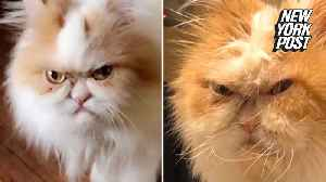 Is this the world's next 'Grumpy Cat'? [Video]