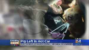 Pet Pig Left In Hot Car, Owners Arrested & Charged With Animal Cruelty [Video]