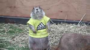 Prairie dogs in T-shirts at pet show in Thailand [Video]