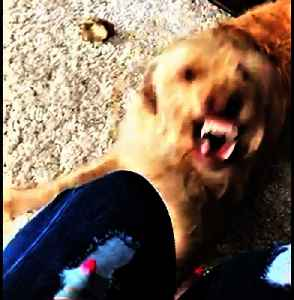 Dog goes completely berserk over woman's torn jeans [Video]