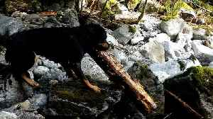 Dog rescues giant log from being swept over waterfall [Video]