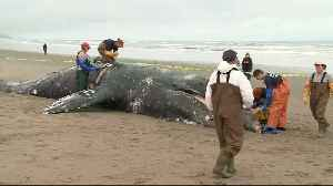 Feds to Investigate Spate of Whale Deaths on West Coast [Video]