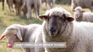 These Sheep Are Educated And Saved A School [Video]