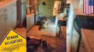 11-foot alligator breaks into home and gets 'the good stuff' [Video]
