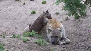 Hyena cub determined to play with unamused mother at South Africa park [Video]