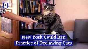 New York Could Ban Practice of Declawing Cats [Video]