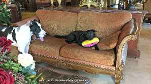 Funny little dogs steal Great Danes' toys [Video]