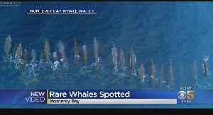 Drone Captures Pod Of Rare Baird's Giant Whales Swimming Off Monterey Coast [Video]