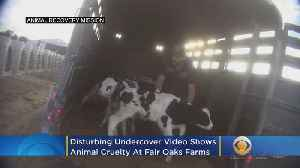 Disturbing Undercover Video Shows Animal Cruelty At Fair Oaks Farms [Video]
