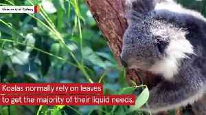 Scientists Say Water Fountains Could Save Koalas From Extinction [Video]