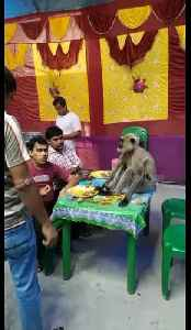 Cheeky monkey gatecrashes Indian wedding and demands food plate from guests [Video]