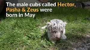 White tiger cubs make their debut at Austrian zoo [Video]