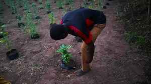 Swaziland cannabis farmers fear new South African law [Video]