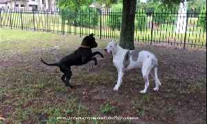 Adopted Great Dane encourages deaf senior dog to play [Video]